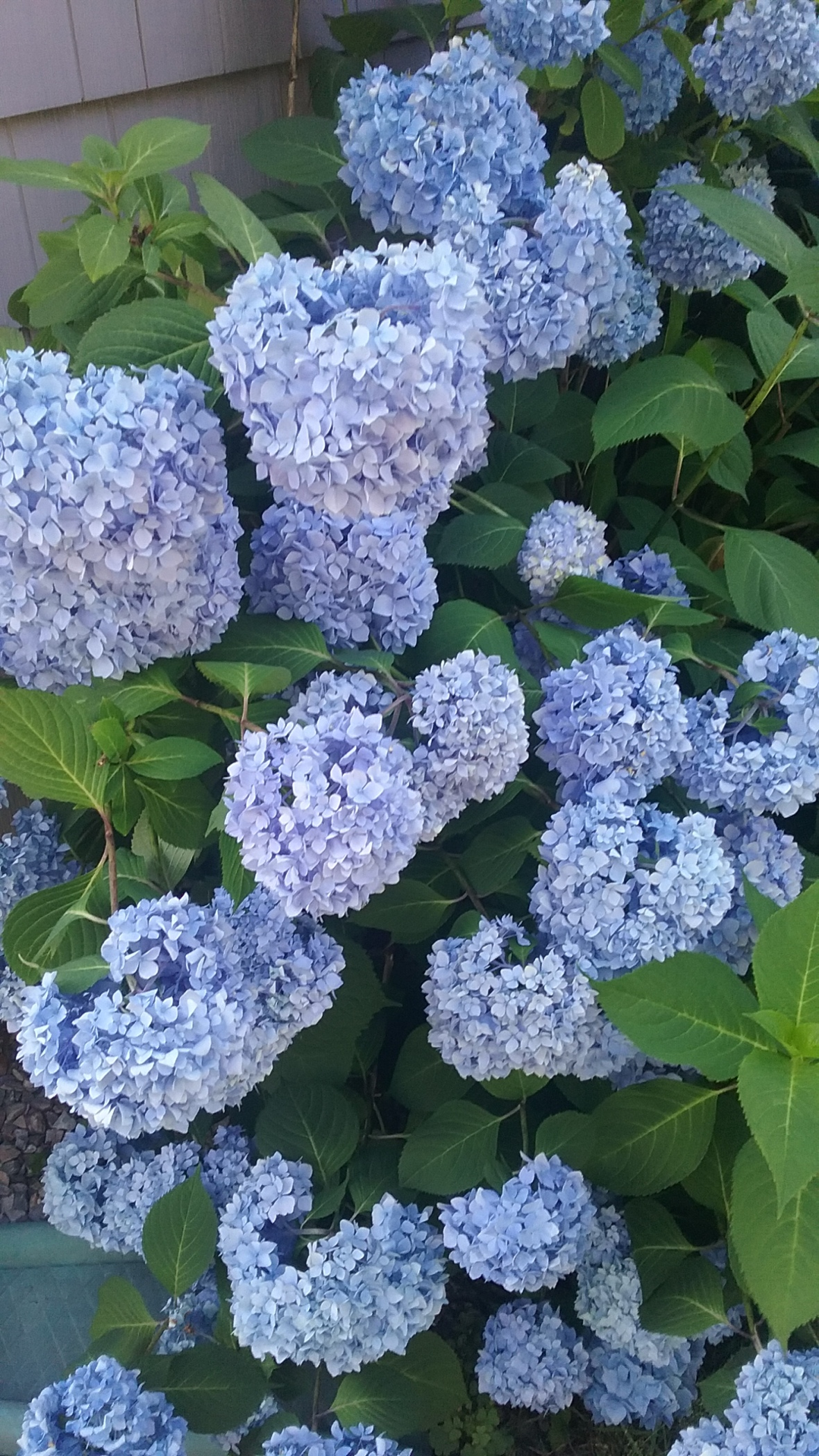 hydrangea-paulette-ryan